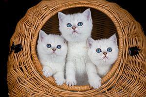 Drei weiße Kätzchen im Weidenkorb auf schwarzem Hintergrund