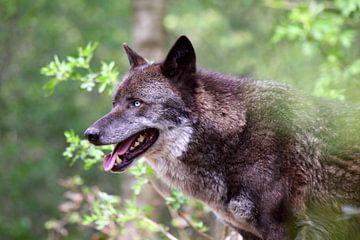 Zwarte wolf van Jolanta Mayerberg