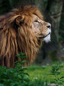leeuw : Koninklijke Burgers' Zoo van Loek Lobel