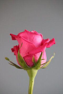 Rosa Rose von Clicksby JB