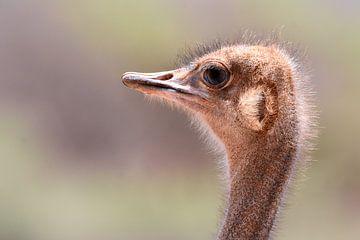 Struisvogel close-up van Herman van Egmond