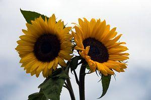 twee zonnebloemen