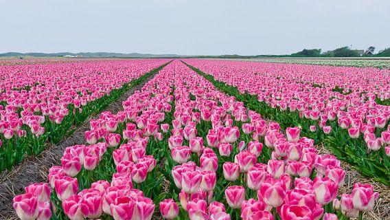 Tulpen op een rij