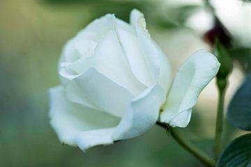 Weiße Rose von hetty'sfotografie