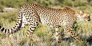 Jagd auf Geparden von Linda van der Steen