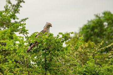 Roofvogel van Nicole Nagtegaal