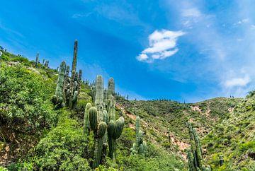 Kaktussen in Los Cardones (National Park) in the Salta Provence , Argentina van Ivo de Rooij