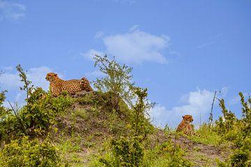 Zwei Brüder - Geparden von Ursula Di Chito