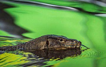 Zwemmende varaan van Peter Postmus