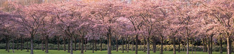 Avondzon op de kersenboomgaard van Rietje Bulthuis