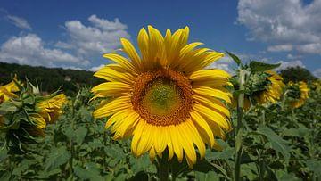 Zonnebloem in de Dordogne van Gerard van der Vries