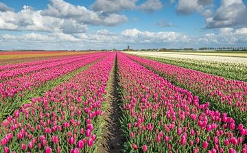 Kleurige tulpenvelden in Oost Flakkee van Ruud Morijn