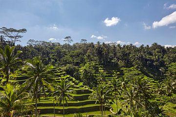 Landschaft aus jungen bewässerten Reisfeldern mit einigen Kokospalmen und einer kleinen Hütte auf de von Tjeerd Kruse