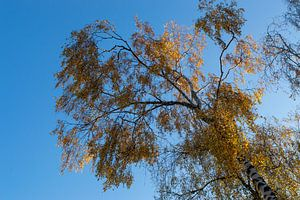 Berk met gouden bladeren