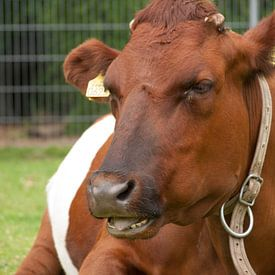 Enigszins verstoorde koe van Rinke Velds