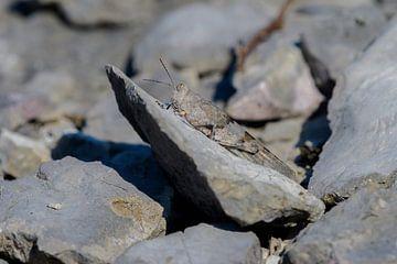 Egyptische Treksprinkhaan / Bloemkoolsprinkhaan (Anacridium aegypticum) van Andrea de Vries