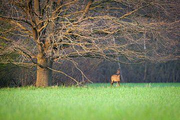 Ree onder grote boom van YvePhotography