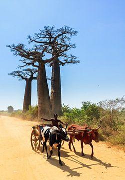 Zeboekar met Baobabs von Dennis van de Water