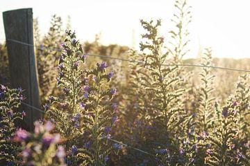 Fleurs ensoleillées sur Leen Van de Sande