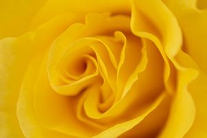 Gele roos van Marc Piersma
