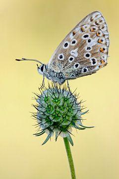 in 2. Generation... Himmelblauer Bläuling *Polyommatus bellargu von wunderbare Erde