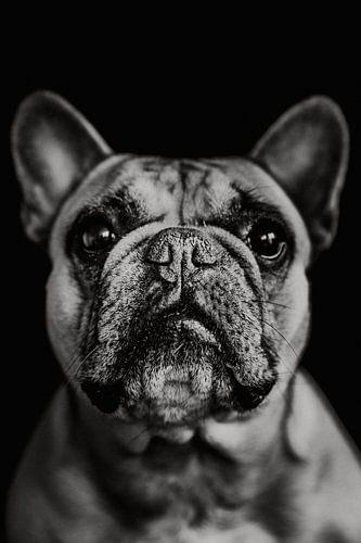 Franse Bulldog Lilly