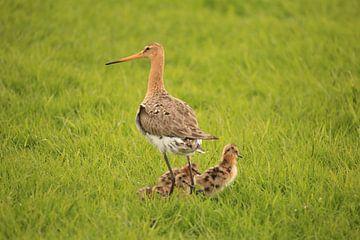 Grutto met jong (Nationale vogel) van Rinnie Wijnstra