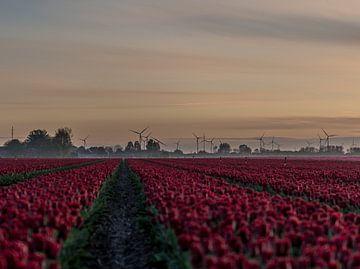 Mühlen und Tulpen in Groningen von Bart Achterhof