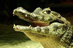 Ein lachendes Krokodil