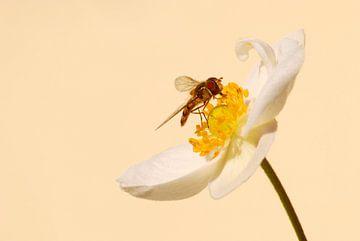Zweefvlieg op bloem van Margreet Frowijn