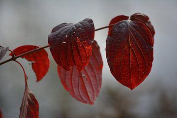 herfstkleuren van miranda  Leenheer