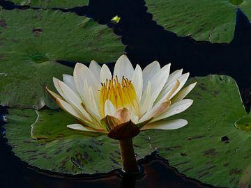 Waterlelie in bloei op de Thamakalane rivier van Timon Schneider