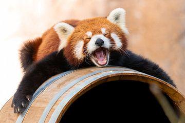 Slaperige Rode Panda van Ronald Huijzer