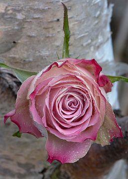 Rose roos met regendruppels van