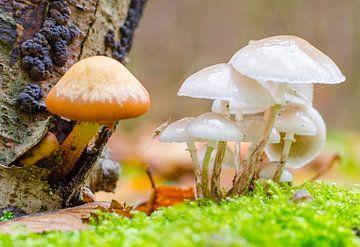Herfst - paddenstoelen met vlieg van Jack Koning