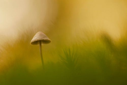 Mushroom in the golden light von Birgitte Bergman
