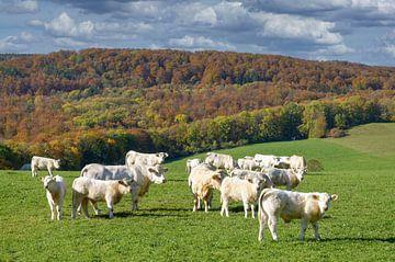 Charolaisrunderen in de herfst Rhön van Peter Eckert
