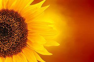 feurige Sonnenblume
