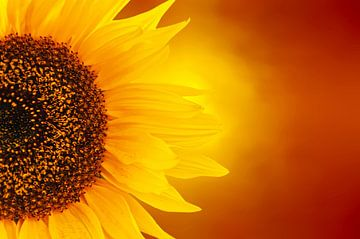 feurige Sonnenblume von Dennis Carette