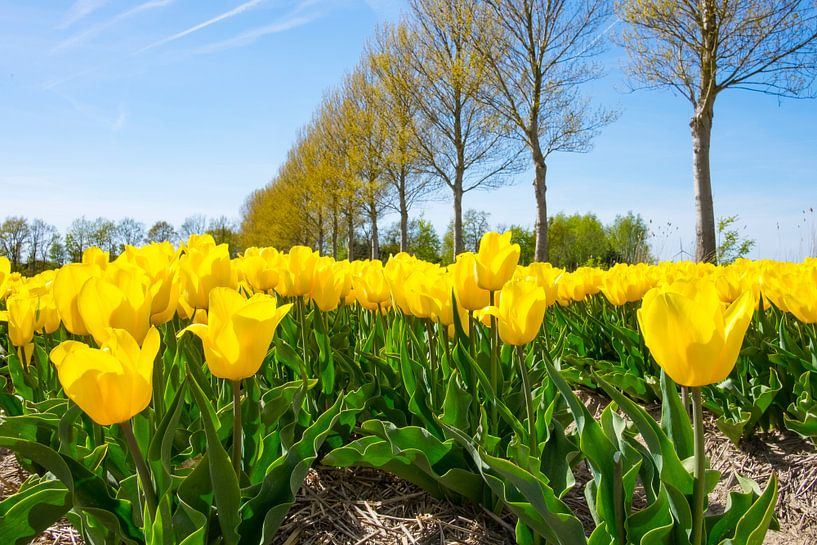 Gele tulpen op in de polder in flevoland  van Sjoerd van der Wal