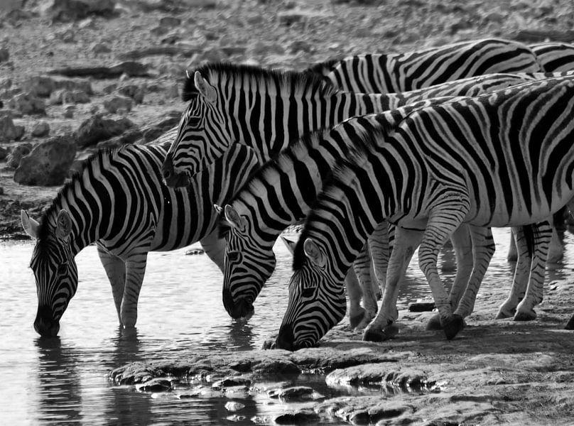 Dorstige zebra's sur Roos Vogelzang