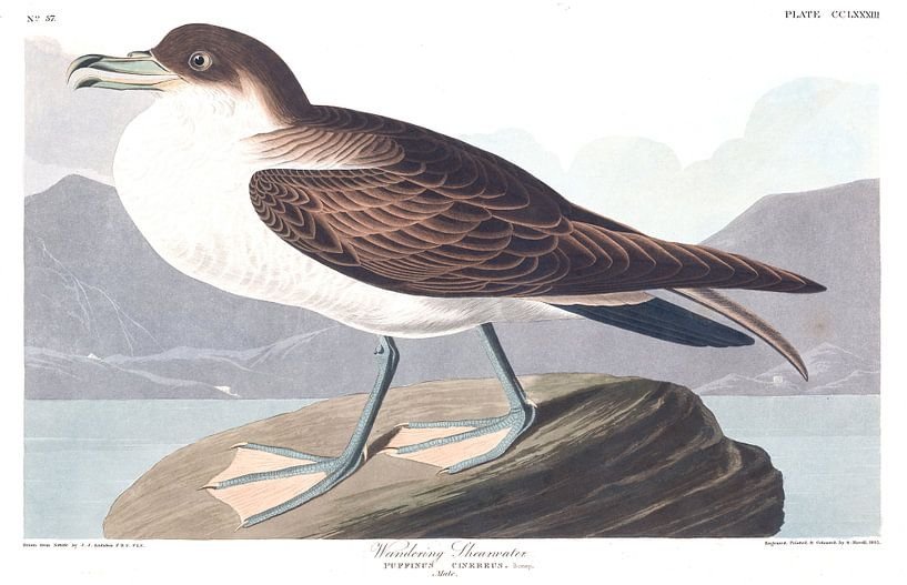 Grote Pijlstormvogel van Birds of America