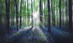 Zonnestralen in het Hallerbos