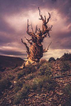 Stürmischer Bristlecone von Joris Pannemans - Loris Photography