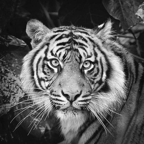 Portret van Sumatraanse tijger van Frans Lemmens
