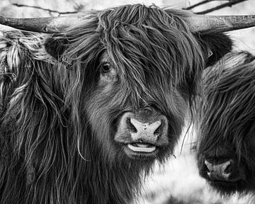 Porträt eines schottischen Hochlandbewohners im FKK-Bereich von Saranda Hofstra