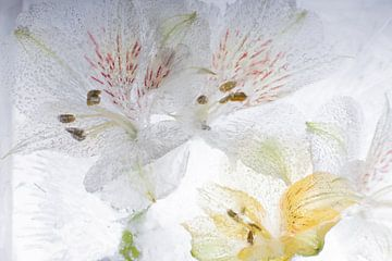Alstroemeria in ijs 3 van Marc Heiligenstein