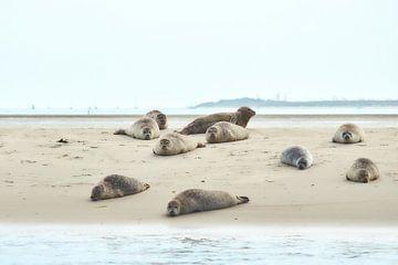 Seehund auf Sandbank von