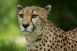 Der Gepard