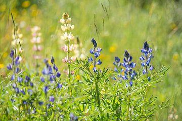 lupines in het gras van Hanneke Luit